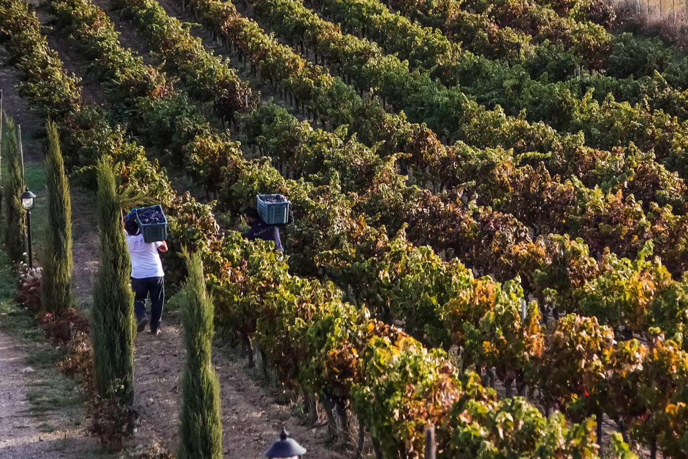 vendemmia tenute vigne audarya uva vigneti